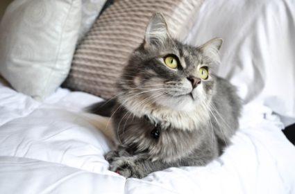 Koty z długą sierścią – uroda, ale też obowiązek