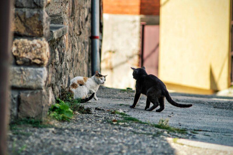 Koty fuczą na siebie, kiedy rywalizują o terytorium